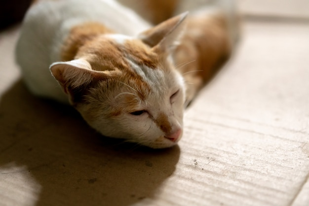 背景をぼかした写真を段ボール紙に茶色と白のタイ猫を敷設します。