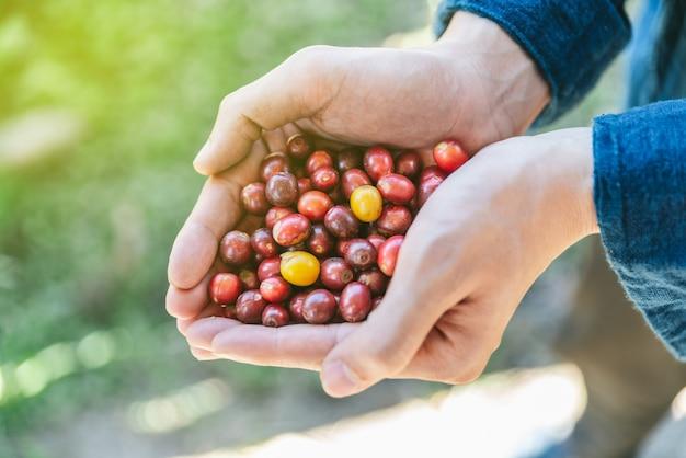 Ручной сбор спелых красных и желтых кофейных ягод арабика в руках.