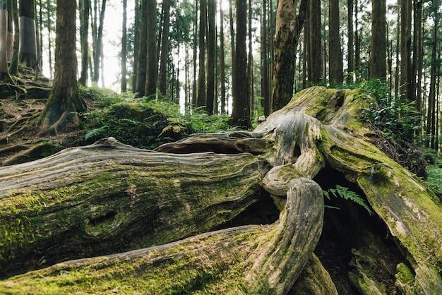 阿里山の森の中の苔で長い生きている松の木の巨大な根のクローズアップ。