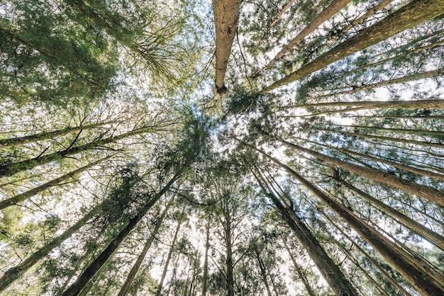 阿里山の下から見た森の中の杉の木。