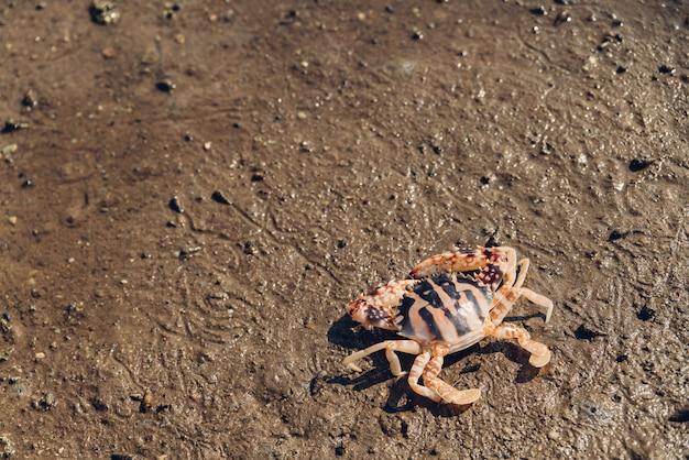 Тигровый краб идет по отливу в мангровых лесах в заливе тунг пронж