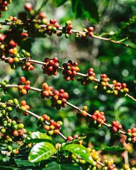 Зелёная и красная арабика кофейные ягоды из кофейного дерева.