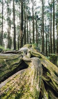 阿里山国家森林遊楽区の森にある苔に覆われた、長生きしている松の木の巨大な根のクローズアップ
