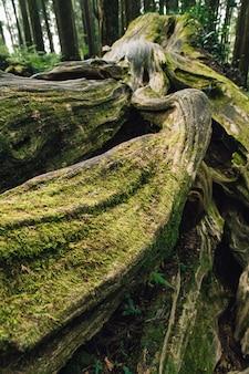 阿里山国家森林遊楽区の森林にある苔の生えた松の木の巨大な根のクローズアップ。
