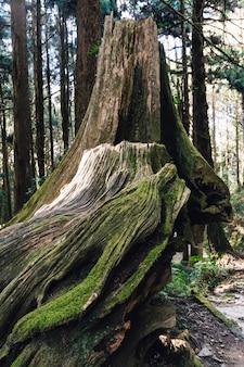 阿里山の森にコケのある長生きの杉の木の巨大な根のクローズアップ。