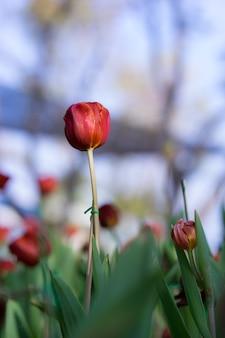 Красивый красный тюльпан в саду на фоне зеленых тюльпанов дерева,