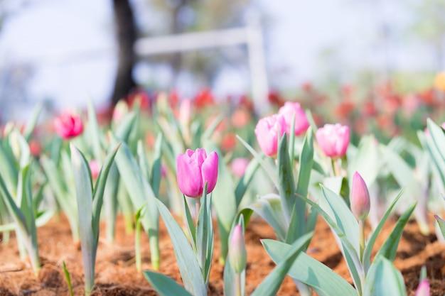 Красивый розовый тюльпан в саду на фоне зеленых тюльпанов дерева,