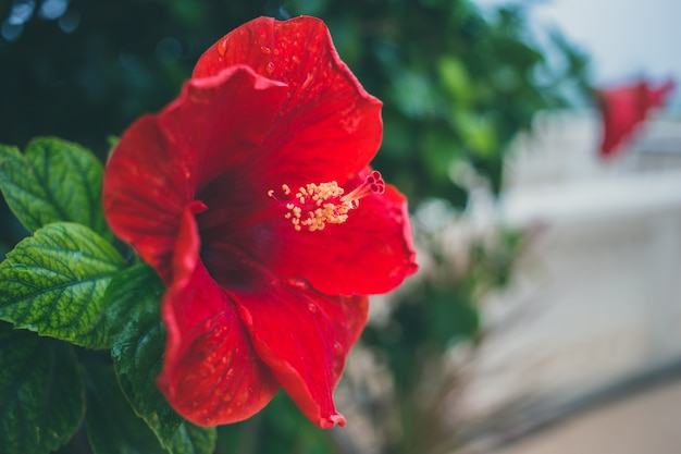 テキスト用のスペースと赤いハイビスカスアートヴィンテージトーン花