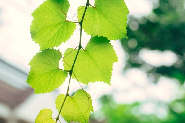ブドウのつる緑の庭の自然生態学。クローズアップクロロフィルと植物の光合成のプロセスと高詳細な緑の葉のテクスチャー。