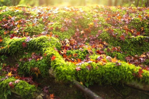コケやカエデの熱帯雨林の秋の自然の背景