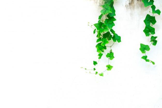 灰色のコンクリートの壁にアイビーひょうたん。テキスト用のスペースとつる緑の自然の背景