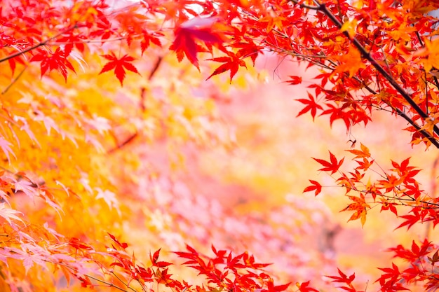 秋の季節の自然の背景の日本カエデの葉
