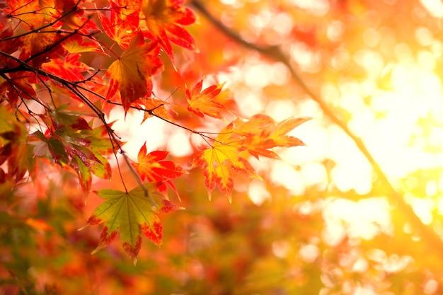 日本の秋旅行自然の背景。大阪の赤い楓の葉。