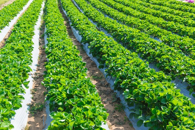 タイ北部のアジアにおけるイチゴ植物農業産業