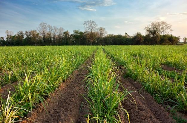 サトウキビの植物、春の空の風景を持つフィールド。