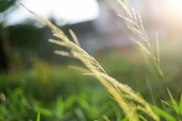 Размытый светлый дизайн фона травяного цветка, от отражения солнечного света в вечернее время