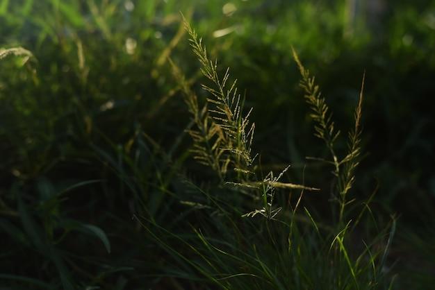 Размытый светлый дизайн фона травяного цветка отражает отражение солнечного света, вечером