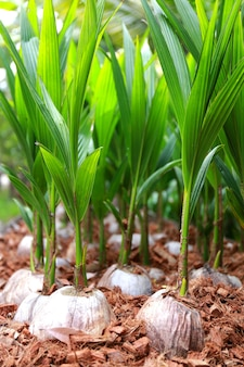 背景のためのヤシの若葉の栽培