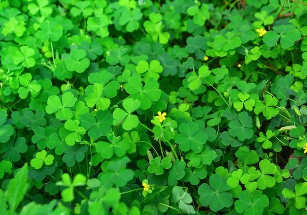 Текстура листьев зеленого клевера с маленьким желтым цветком