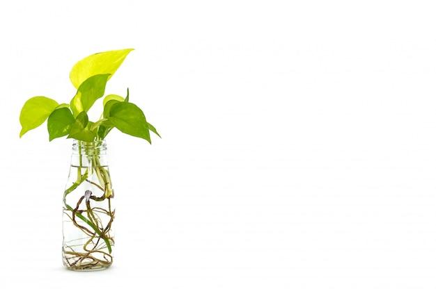 ゴールデンポトスは、白い背景の上のガラス瓶を再利用でルートと葉します。