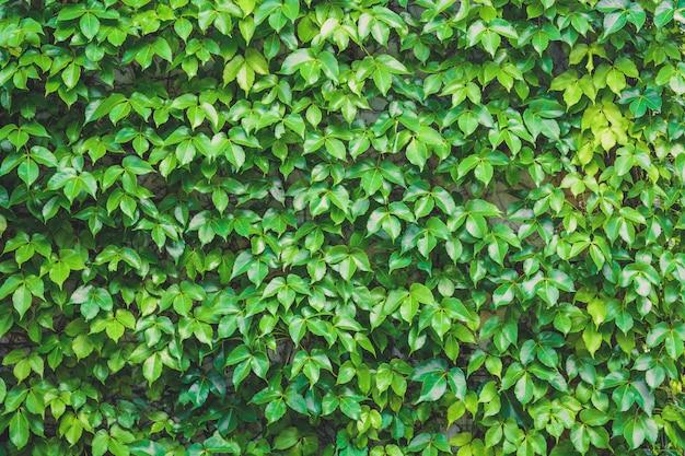 垂直庭園、緑の葉の壁のテクスチャ背景、石の壁に植物を登る
