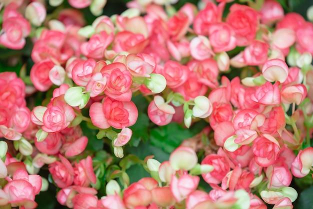 ベゴニアの花のテクスチャの庭で満開