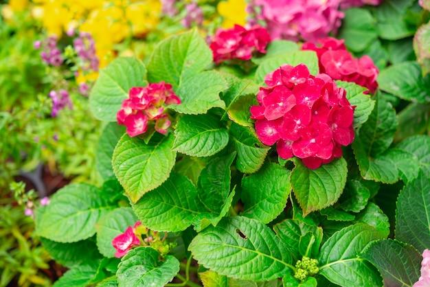 春と夏に咲くアジサイやオルテンシアの花。