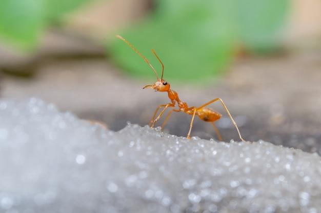 砂糖の上の赤い蟻