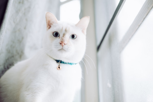 窓辺に座って朝の光で窓を探している白猫、猫は晴れた日に窓の外を見て