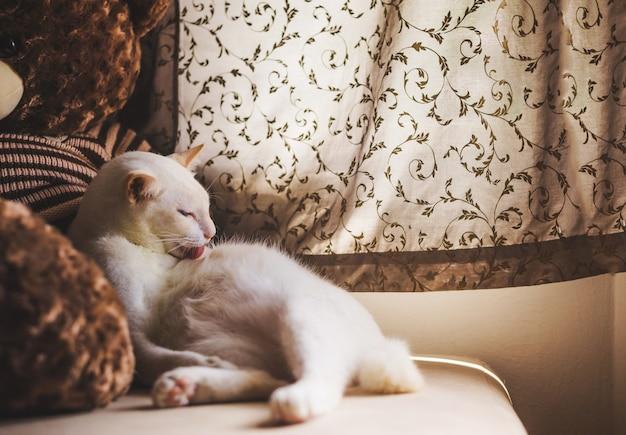 ソファの上の白い猫朝の光で窓の近く、窓の外を見て猫