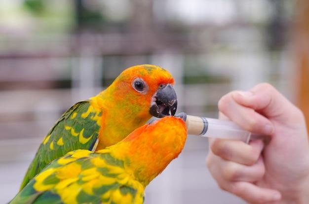 注射器を通して鳥を餌の女性