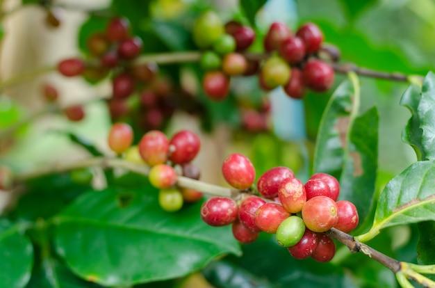 Кофе фруктовый в кофейной ферме, семена кофеина
