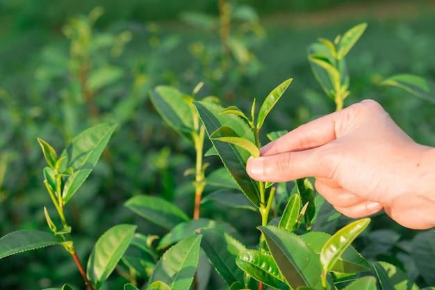 茶園の丘で手で緑茶葉の摘み先
