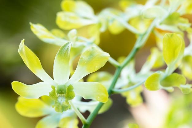 自然の蘭園の黄色の蘭と光をぼかす