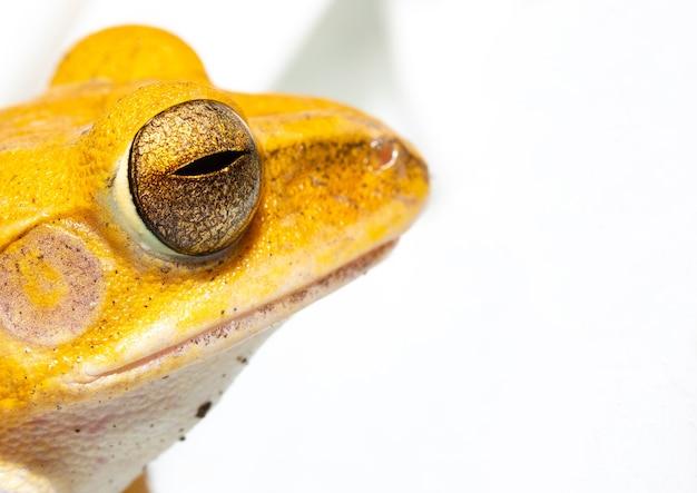 黄色のカエルの目を閉じる