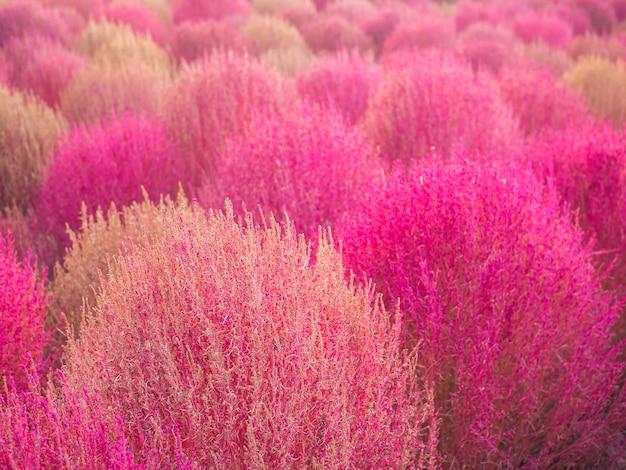 韓国ハネル公園で秋にカラフルなピンクミューリーとコキア