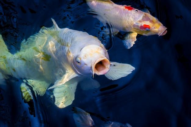 Красивая рыба кои плавает в пруду