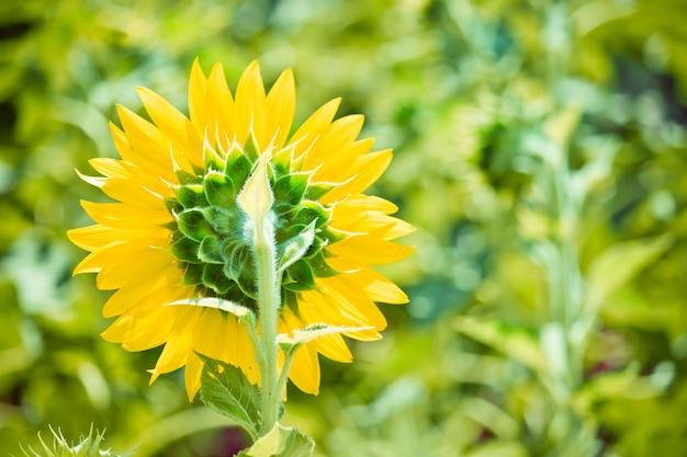 タイ、サラブリの農場にひまわりが咲き誇る