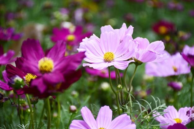 背景に太陽の光とカラフルなコスモスの花