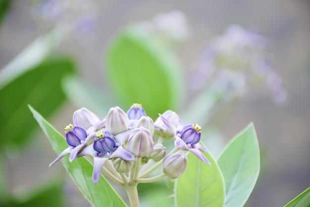 自然の背景に緑の葉と紫のダリアの花を閉じます。
