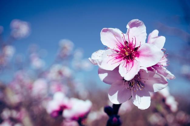 ぼかしの背景と咲くピンクの桃の花
