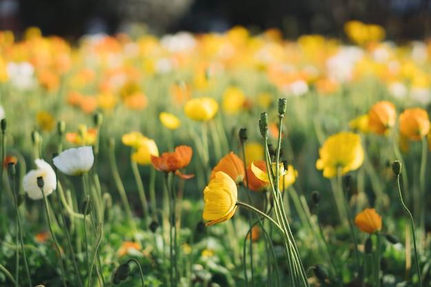 セレクティブフォーカスポイントとカラフルなケシの花畑