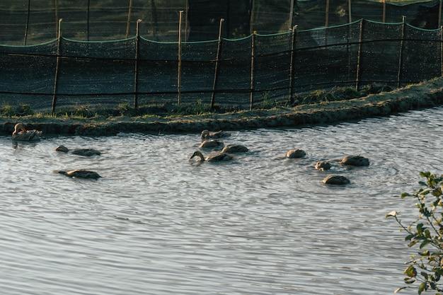 田んぼで泳ぐアヒル