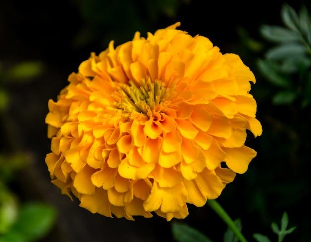 庭のマリーゴールドの花