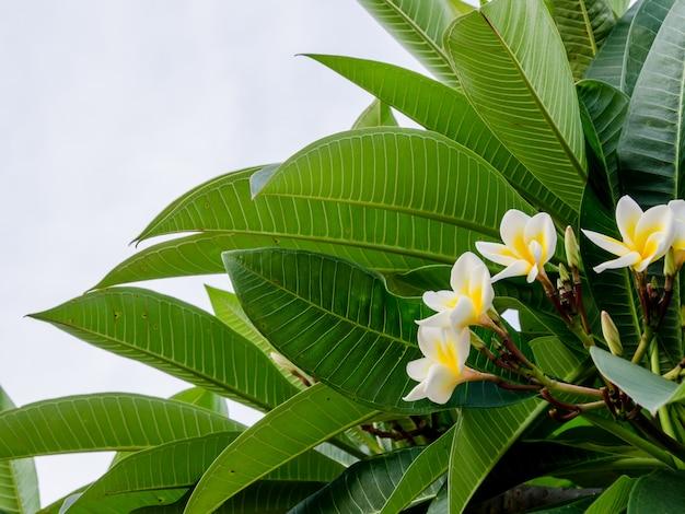 クローズアップの美しいプルメリアの花