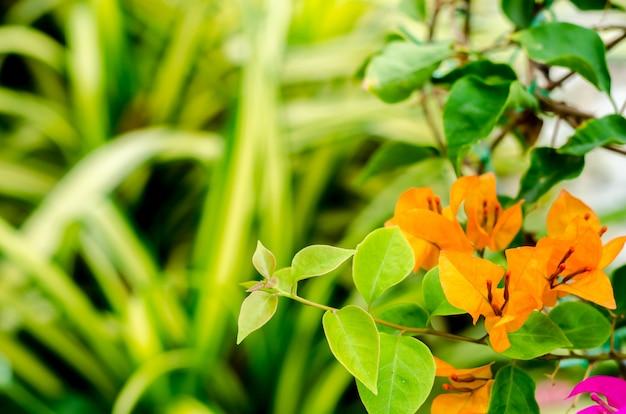 緑の庭でブーゲンビリアの花