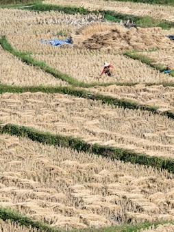 田んぼと農家が稲刈りをしている、タイ北部のメーホンソン