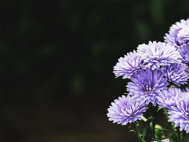 庭のピンク、紫マーガレットの花。タイチェンマイにて