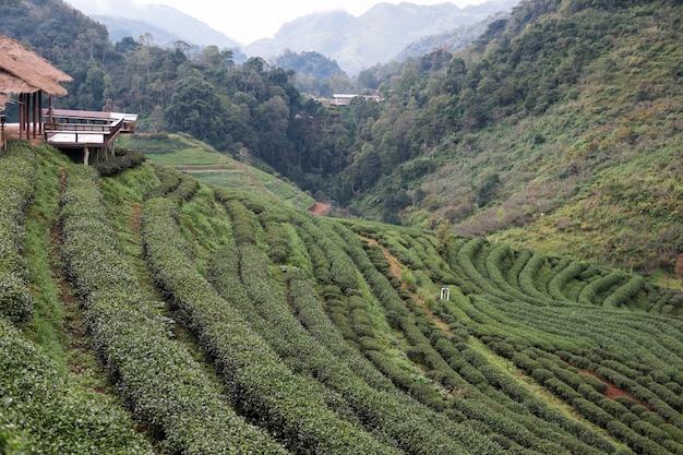 山の茶畑。