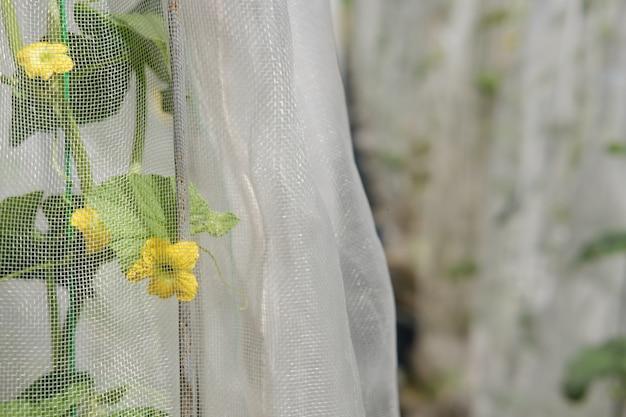 Растение дыни в теплице на ферме